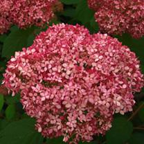 Hydrangea arborescens Plant - Pink Annabelle®