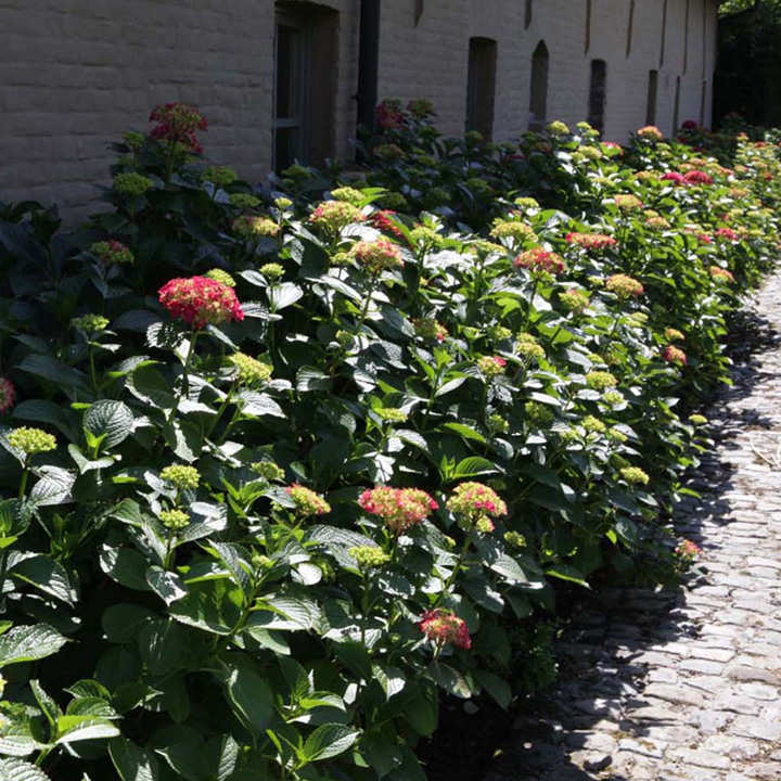 Hydrangea m. Plant - Alpengluehen