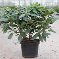 Rhododendron Plant - Catawb. Grandiforum