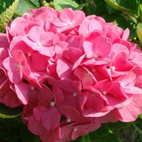 Hydrangea m. Plant - King George V
