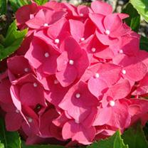 Hydrangea macrophylla Plant - Leuchtfeuer