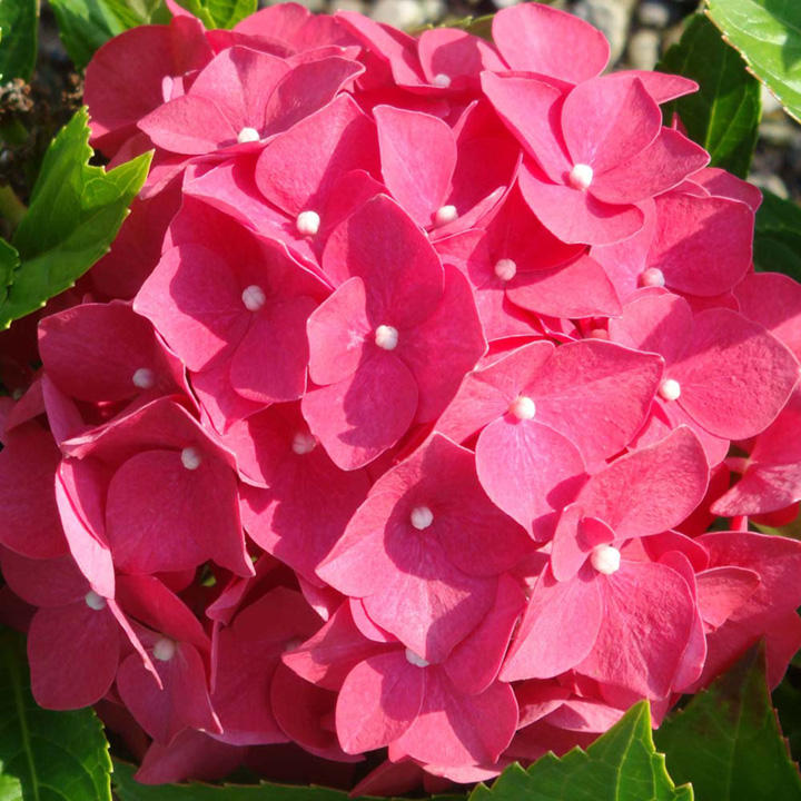 Hydrangea m. Plant - Leuchtfeuer