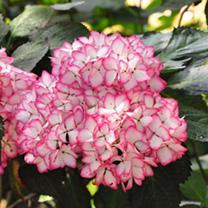 Hydrangea macrophylla Plant - Mirai