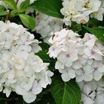 Hydrangea macrophylla Plant - Madame Emile Mouillre