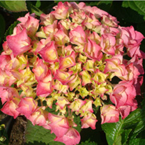 Originally from Japan, hydrangea macrophylla 'Rosita is an easy to grow, bushy, rounded deciduous shrub with broadly ovate, mid-green foliage. All thr