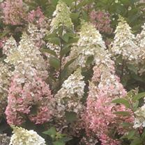 Hydrangea paniculata Plant - Candlelight®