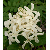 Hydrangea paniculata Plant - Great Star