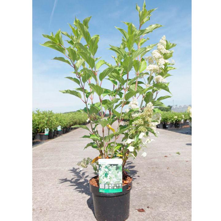 Hydrangea paniculata Plant - Kyushu