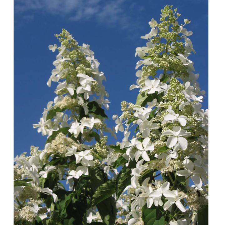 Hydrangea paniculata Plant - Levana®
