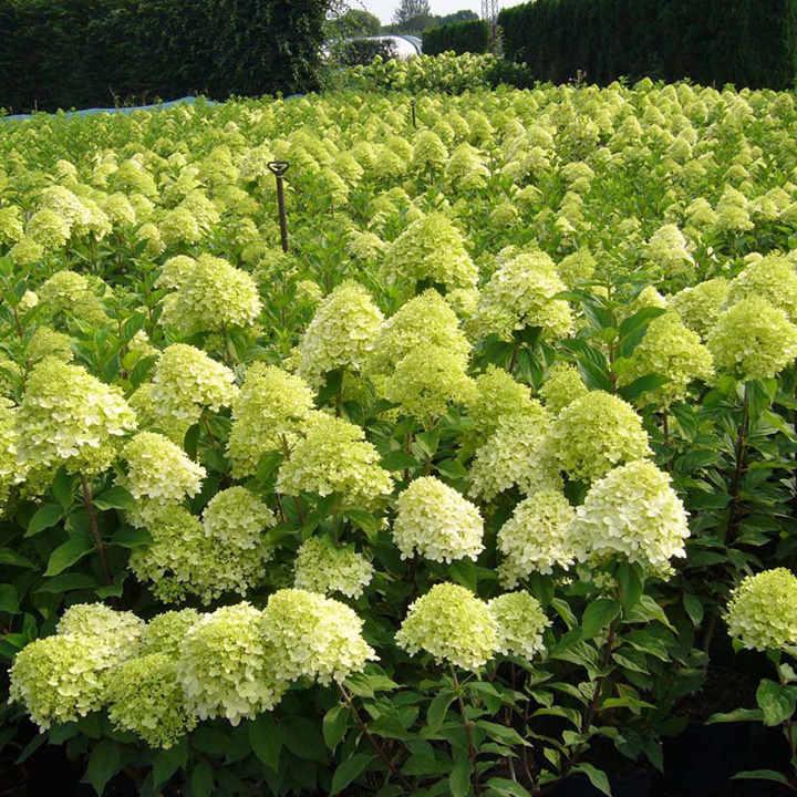 Hydrangea paniculata Plant - Limelight®