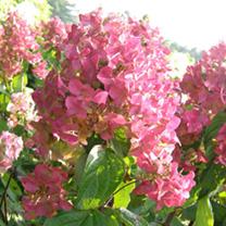 Hydrangea paniculata Plant - Mega Mindy