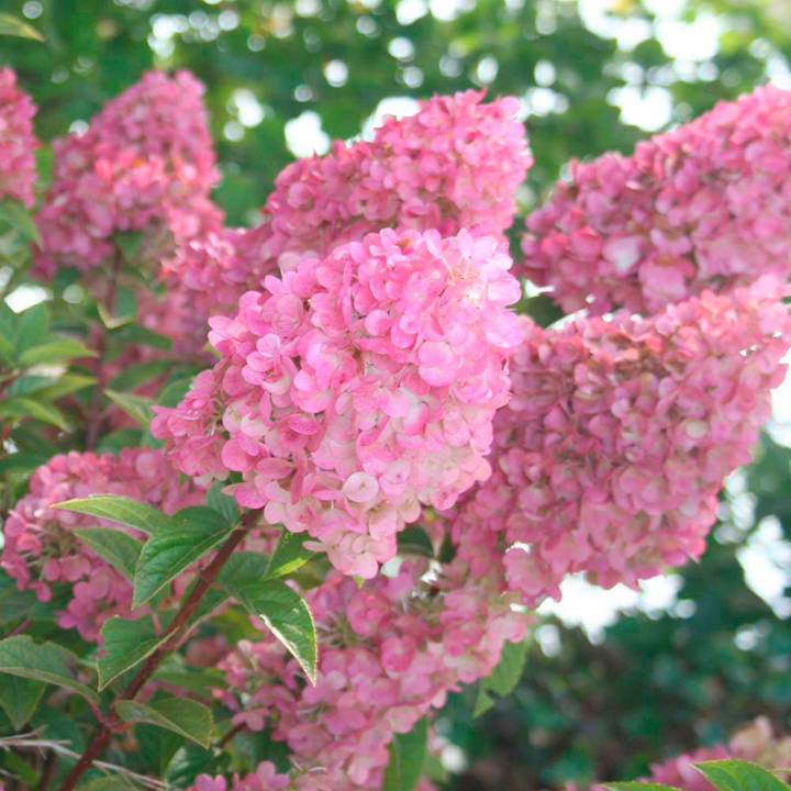 Hydrangea paniculata Plant - Sundae Fraise® - View All Trees and ...