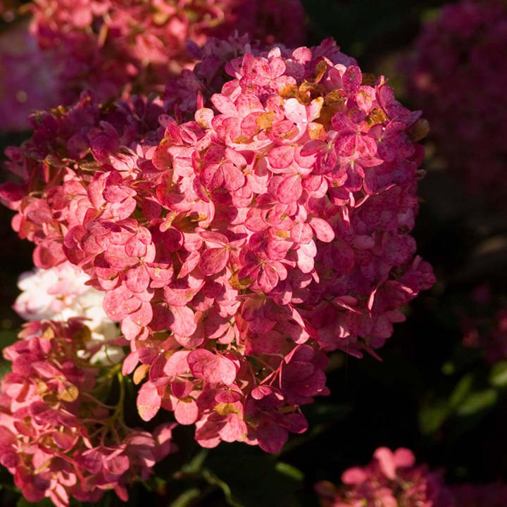 Hydrangea paniculata Plant - Vanille Fraise® - View All Trees and ...