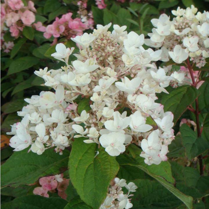 Hydrangea paniculata Plant - White Diamonds® First Editions®
