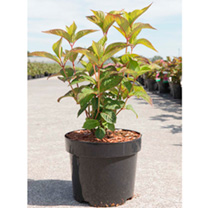 Hydrangea serrata Plant - Avelroz