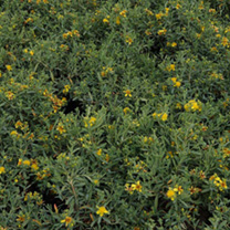 Yellow flowering evergreen shrub on suttons hypericum kalmianum plant blue velvet mightylinksfo