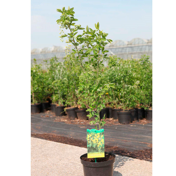 Laburnum anagyroides Plant