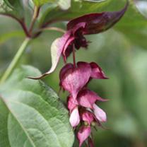 Leycesteria formosa Plant - Purple Rain