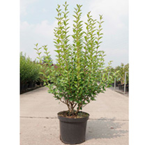 Ligustrum ovalifolium Plant
