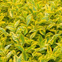 Ligustrum ovalifolium Plant - Aureum
