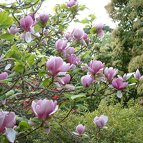 Magnolia Tree Buy Online At Suttons