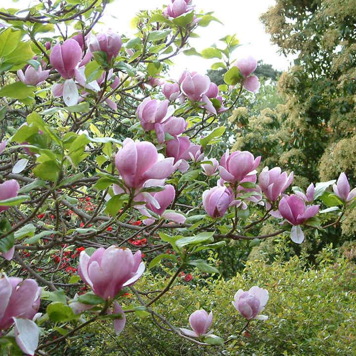 Magnolia soulangeana Plant