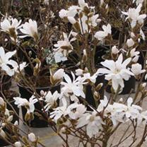 Magnolia stellata Plant - Rosea