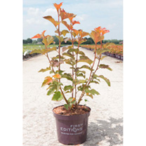 Physocarpus opulifolius Plant - Amber Jubilee First Editions