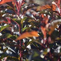 Physocarpus opulifolius Plant - Diabolo