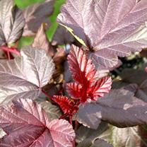 Physocarpus opulifolius Plant - Little Devil® First Editions®