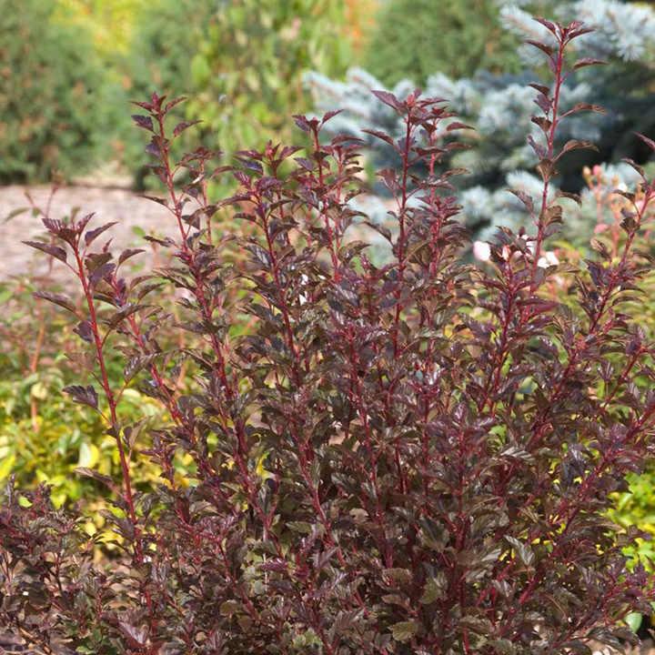Physocarpus Opulifolius Plant - Summer Wine