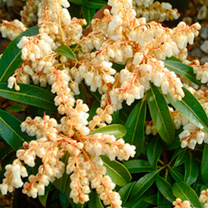 Pieris Plant - Forest Flame