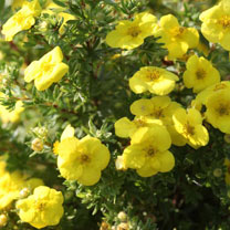 Potentilla Kobold is a compact deciduous shrub of dense grey-green foliage. Masses of bright yellow blooms are produced throughout summer and into aut