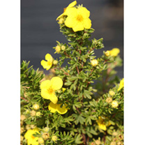 The cup-shaped orange-yellow flowers of Potentilla Mango Tango contrasts beautifully with the grey-green foliage. A small deciduous shrub that shows g