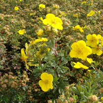 The golden yellow flowers of Potentilla Goldfinger sit atop the light green foliage from the end of spring throughout summer. A popular favourite, thi