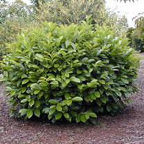 Prunus laurocerasus Plant - Marbled White