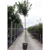 Prunus pumila depressa Plant