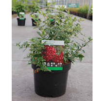 Pyracantha coccinea Plant - Red Column