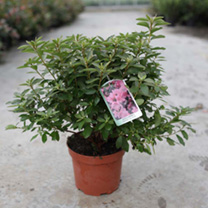 Rhododendron (AJ) Plant - Madame Galle