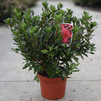 An evergreen azalea that has dark green foliage. Beautiful crimson-red flowers from April into May. Height 90-100cm. Supplied in a 2 litre pot.