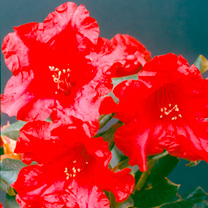 A dwarf rhododendron with beautiful cherry-red flowers that have dark veins and spots. The leaves are very dark green and slightly curled. Prefers a c