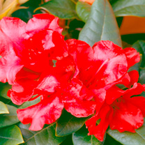 A dwarf, evergreen hybrid rhododendron with shiny dark green leaves. Flowers in late spring and the flowers are a magnificent scarlet colour. Height 9