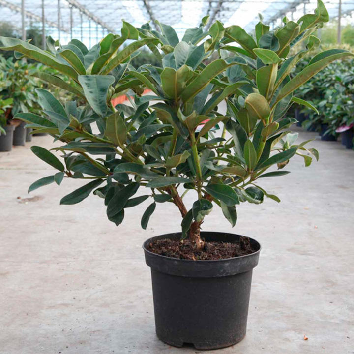 Rhododendron Plant - Wilgens Ruby