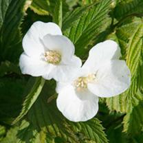 Rhodotypos scandens Plant