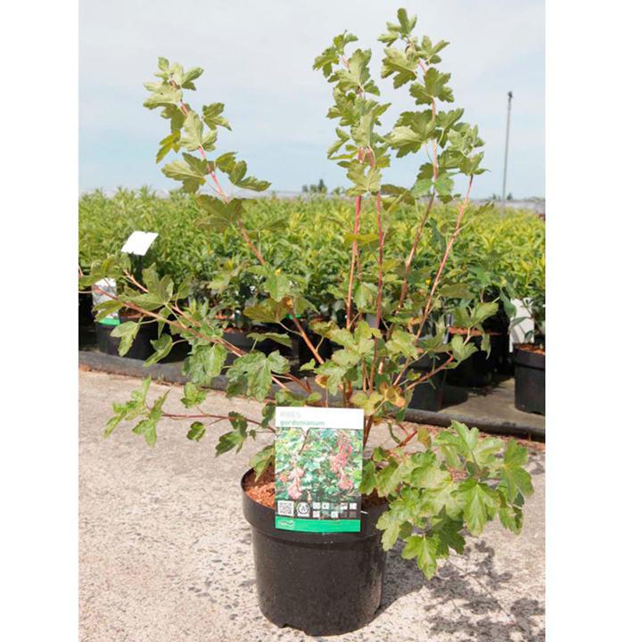 Rhus glabra Plant - Laciniata