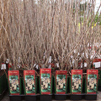 Ribes sanguineum Plant - King Edward VII