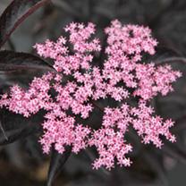 Sambucas nigra Plant - Black Lace