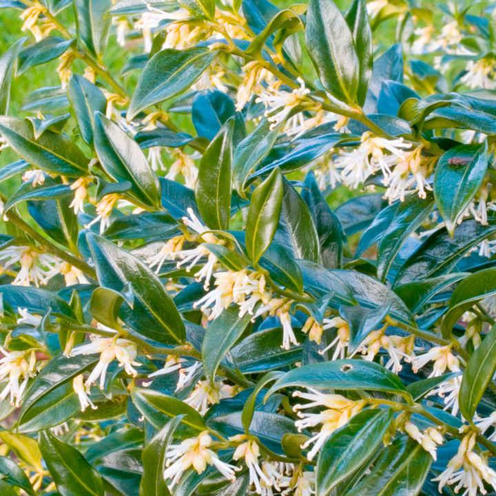 Sarcococca confusa Plant