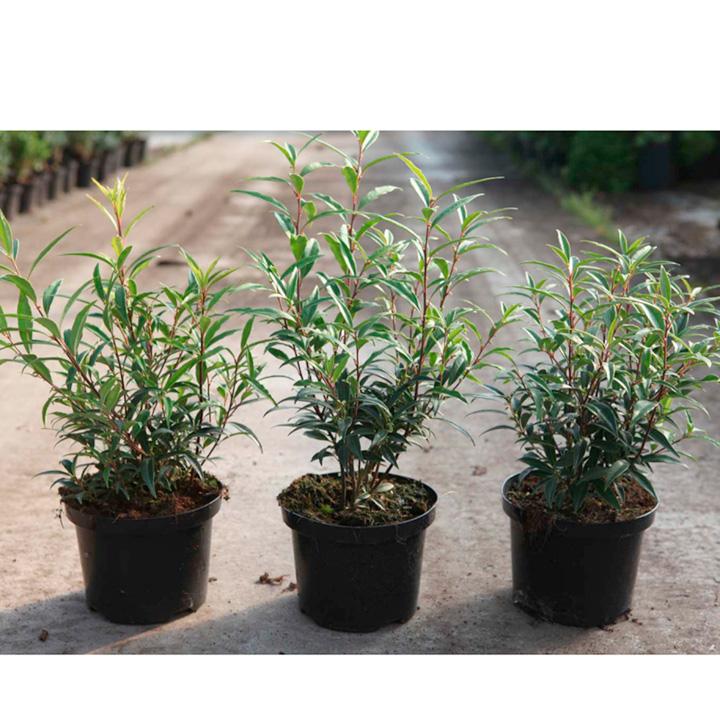 Sarcococca hookeriana digyna Plant
