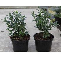 Sarcococca ruscifolia Plant
